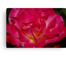 close up double delight rose Canvas Print