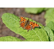 Comma Butterfly on a Primrose Leaf Photographic Print