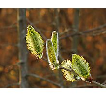 Blooming Willow Photographic Print