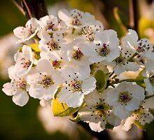 Spring Bloom - Cherry Blossums by cdstamper