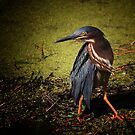 Heron In The Marsh by photosan