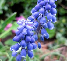 Common Grape Hyacinths  by CavyGirl