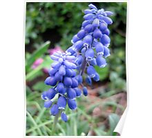 Common Grape Hyacinths  Poster