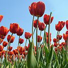 Red tulips by Lifeware