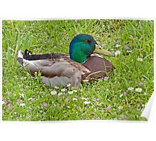 Mallard Drake in the Grass Poster