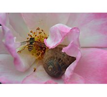 The Snail and the Hover-fly in the safety of a Rose  Photographic Print