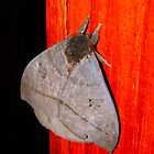 Moth by Pandrot