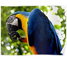 The Blue and Gold Macaw Poster