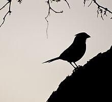 Cardinal Silhouette by Jason Hedlund