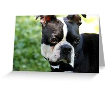 Adorable Boston Terrier close up photo Greeting Card