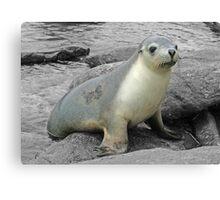 A friendly seal Canvas Print