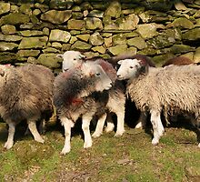 Herdwick Sheep - Buttermere Cumbria by Robert Bellett