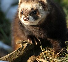 Polecat by Christopher Lloyd