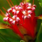 Mountain Devil (lambertia formosa) by Cheryl Ribeiro