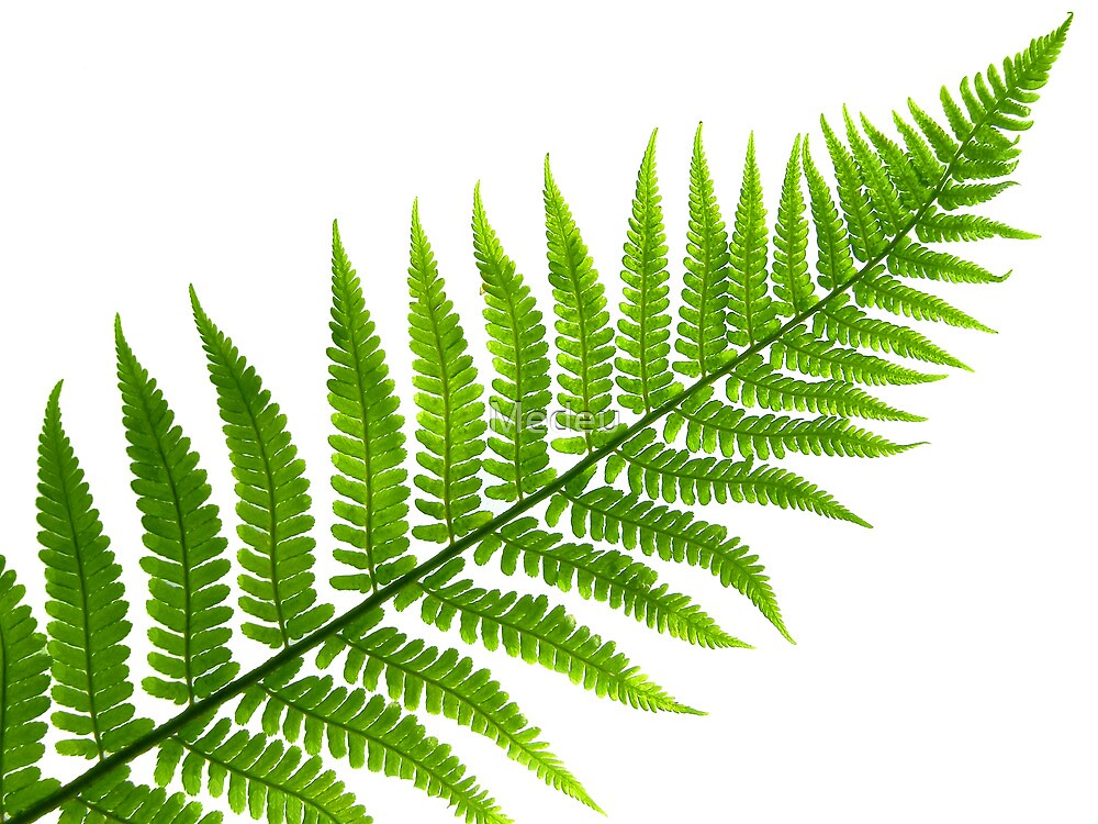leaf  of fern isolated close up by Medeu