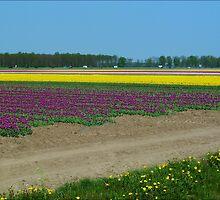 Tulip Fields by Janone