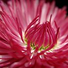 Pink Daisy by TriciaDanby