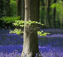 Bluebell woodlands by Martyn Franklin