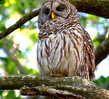 Barred Owl by Frank Bibbins