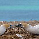 Gannets 2 by Werner Padarin