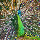 Peacock, Chiang Mai, Thailand by John Spies