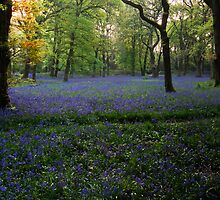 Bluebells 1 @  Blackbury Camp, Devon by David-J