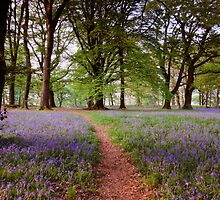 Bluebells 2 @ Blackbury Camp, Devon by David-J