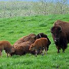 Bison Family by James Brotherton