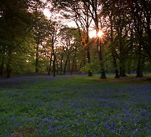 Bluebells 3 @  Blackbury Camp, Devon by David-J