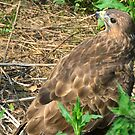 Resting Buzzard by Steve