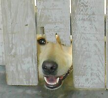 Yellow Lab Peeking Through Worn White Fence Opening by Christi Doolittle