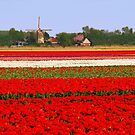 Tulips + mill = Holland! by Adri  Padmos
