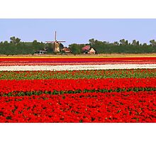 Tulips + mill = Holland! Photographic Print