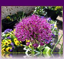 Purple Allium and Yellow Pansies by BlueMoonRose