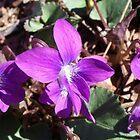 Wild Violets by Kate Eller