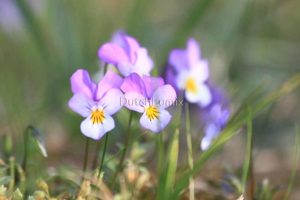 Dune pansies (Viola curtisii)  by DutchLumix