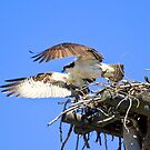 Osprey leaving the nest by amontanaview