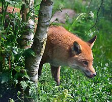 the steady gaze of a hungry fox by Steve