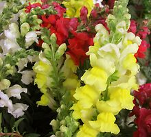 Snapdragons by Christopher Johnson