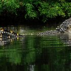 Alligator Mississippiensis Mating Bellow by Joe Jennelle