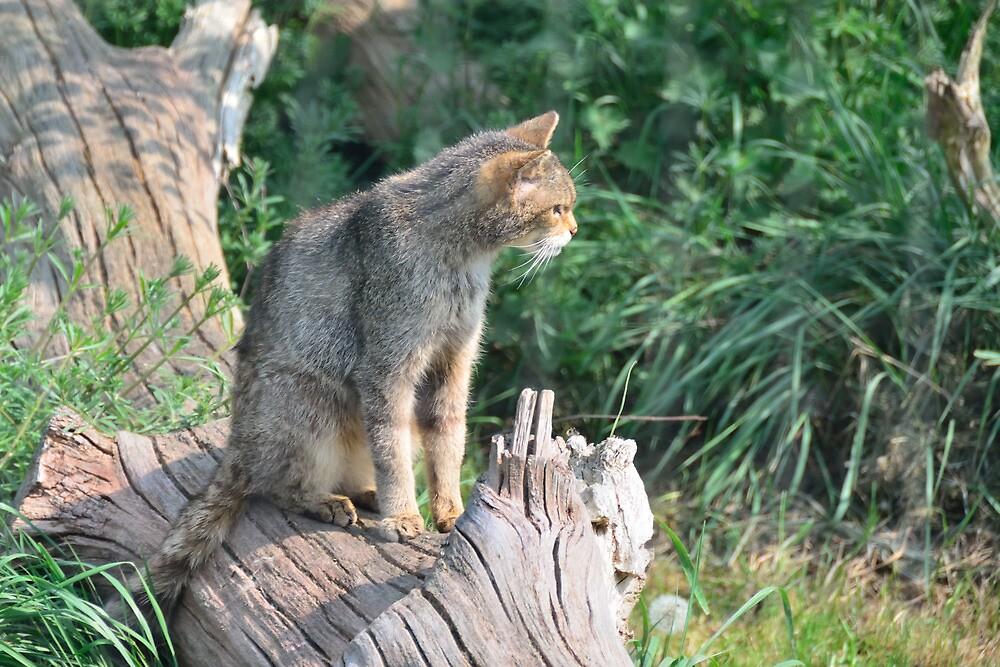 Scottish Wild Cat by Stephen Frost