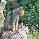 Scottish Wild Cat by Steve