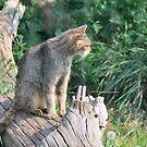 Scottish Wild Cat by Steve