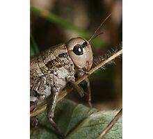 Grasshopper from Tien-Shan meadow, Kyrgyzstan Photographic Print