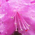 Purple Azalea by daphsam