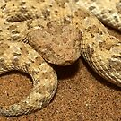 Horned puff adder, Bitis caudalis, Namib desert, namibia by Michal Cerny