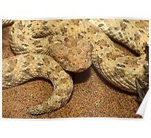Horned puff adder, Bitis caudalis, Namib desert, namibia Poster