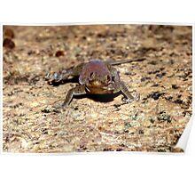 Barnards Namib Day Gecko, Rhoptropus barndardi, Namibia Poster