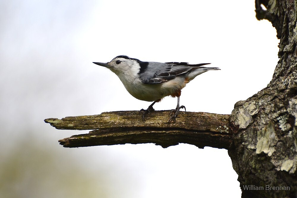 White-Breasted Nuthatch. by William Brennan
