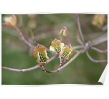 Dogwood peeping Poster